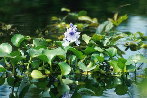 water garden plants eichornia water hyacinth cdjb