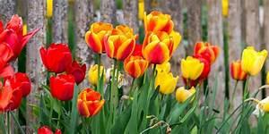 Tulpen Im Garten : bunte fr hlingsboten tulpen bl hen wieder in vielen ~ A.2002-acura-tl-radio.info Haus und Dekorationen
