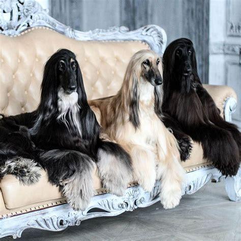 afghan hounds images  pinterest afghan hound