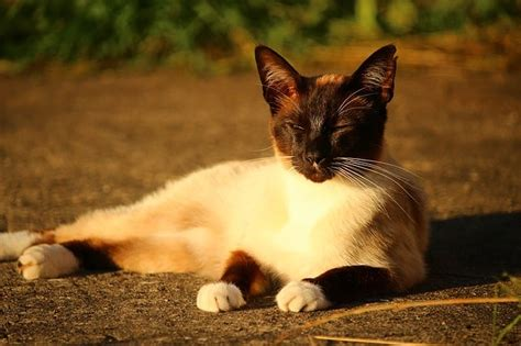 siamese much cost cats cat does owners