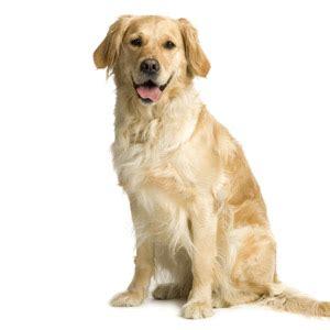care  yellow labrador retrievers dog care