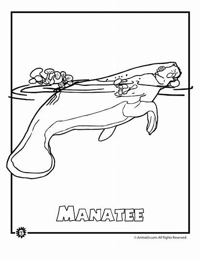 Coloring Endangered Pages Rainforest Manatee Animals Animal