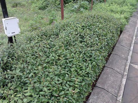 great border plants top 28 great border plants great foliage border plants sunset glossy abelia great foliage