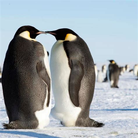 How Long Do Emperor Penguins Live