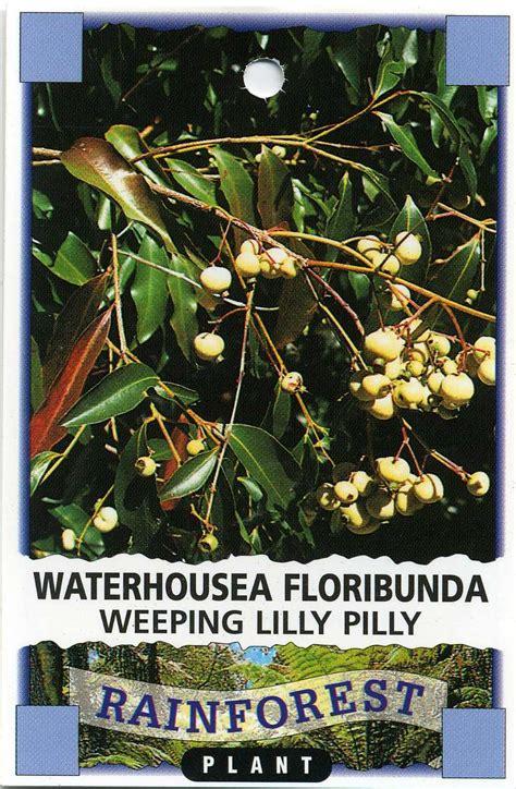 weeping lilly pilly waterhousea floribunda
