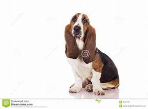 basset puppy stock image image 35974401 With looking for dog sitter