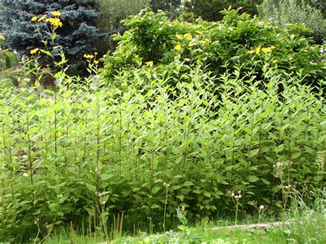 Topinambur » Gartenbobde Der Gartenratgeber