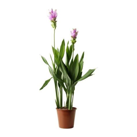 curcuma plante en pot ikea