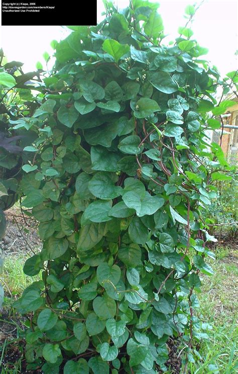 Plantfiles Pictures Malabar Spinach, Red Vine Spinach