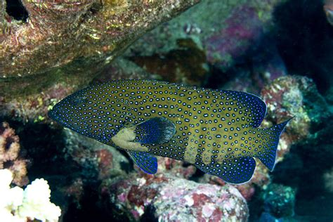 argus peacock grouper cephalopholis laman tim photograph 3rd which july uploaded