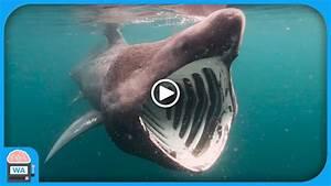 Welche Tasse Ist Zuerst Voll : 5 seltene hai arten ~ Orissabook.com Haus und Dekorationen