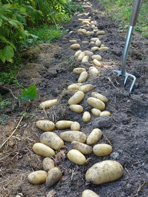a la louange de la pomme de terre amandine