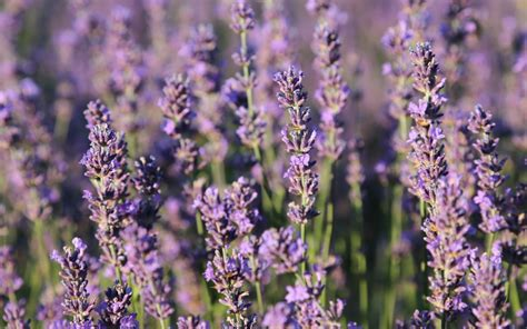 lavender for flies 6 plants that repel bugs that you need to plant immediately the humble gardener