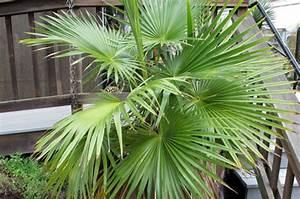 Yucca Palme Braune Blätter : brahea palme gartenweb ~ Lizthompson.info Haus und Dekorationen