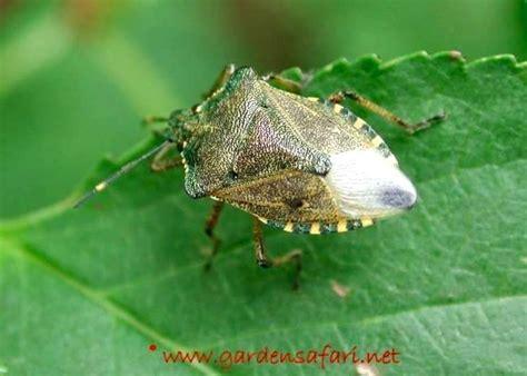 Garden Pests Larvae Identification Uk  Garden Ftempo