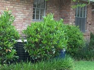 Waxy Leaf Evergreen Viburnum Shrubs