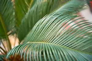 Schmucklilie überwintern Gelbe Blätter : palmfarn bekommt gelbe bl tter woran kann 39 s liegen ~ Eleganceandgraceweddings.com Haus und Dekorationen