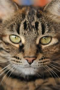 tabby cat breeds mixed breed tabby cat picture 6505 pet gallery