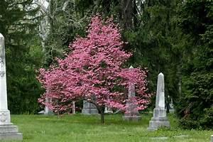 Cornus Florida Rubra : cornus florida 39 rubra 39 pink flowering dogwood on ~ Frokenaadalensverden.com Haus und Dekorationen