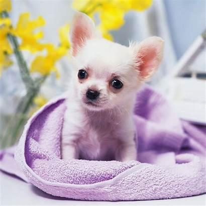 Chihuahua Puppy Dog Adorable Dogs Screensavers Chihuahuas