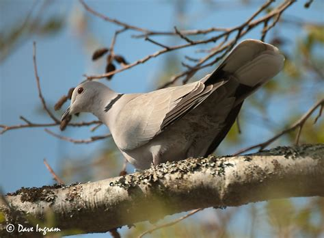 grey dove with black ring around neck eurasian collared doves
