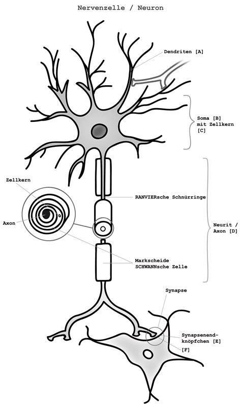 neurit