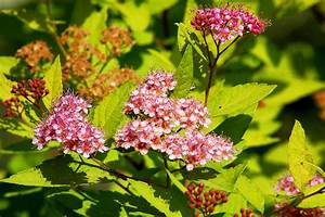 Gold Mound Spirea Shrub Profile  Growing  Care Tips