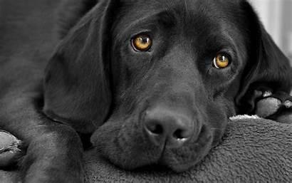 Labrador Dog Snow Wallpapers