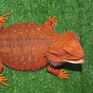 Central Bearded Dragons and Baby bearded dragons for sale