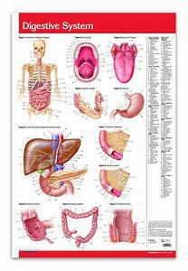 578 Best Digestive System Images On Pinterest
