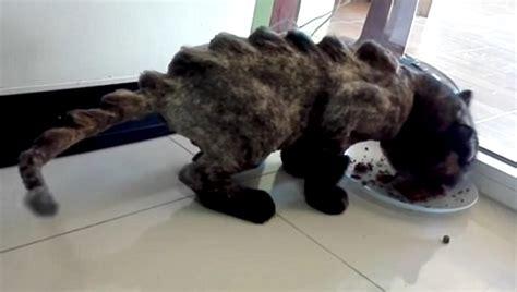 dinosaur cats    internet trend