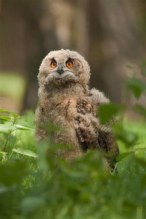 images  owls  pinterest