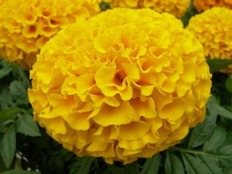 7 ways to use marigold flowers diy network blog made