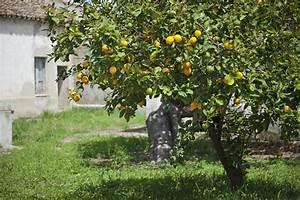 Planter Un Citronnier : citronnier plantation r colte et entretien ~ Melissatoandfro.com Idées de Décoration