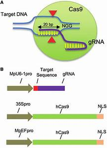 Crispr  Cas9 System Used In This Study   A  Schematic