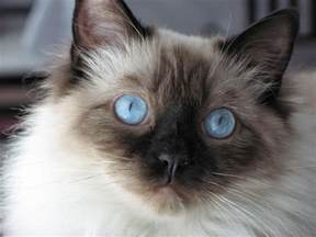 rag doll cat color is brown cat gray white variations blue