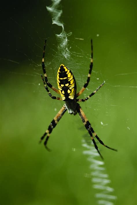 Garden Spider by California Garden Spider Photo