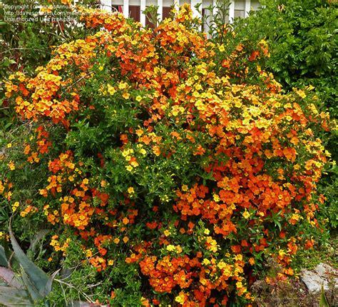 Plantfiles Pictures Marmalade Bush, Orange Browallia