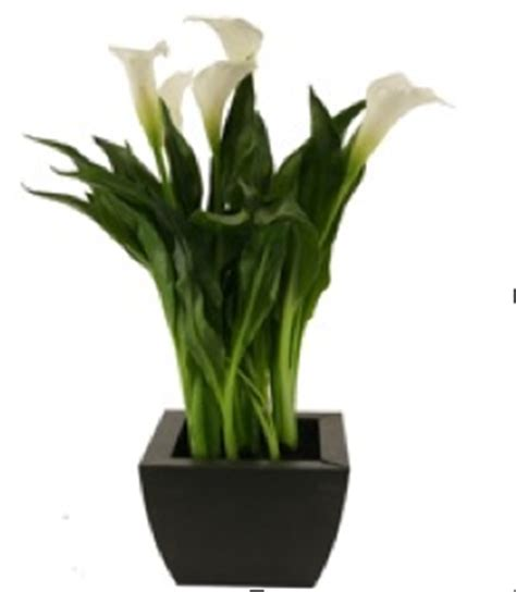 potted calla royal green introduces green potted calla lily greenhouse canada