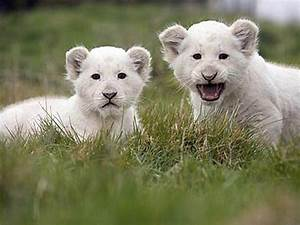 Baby White Lion Pictures - 2013 Wallpapers