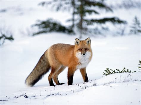 Wallpaper Hd Animal Fox