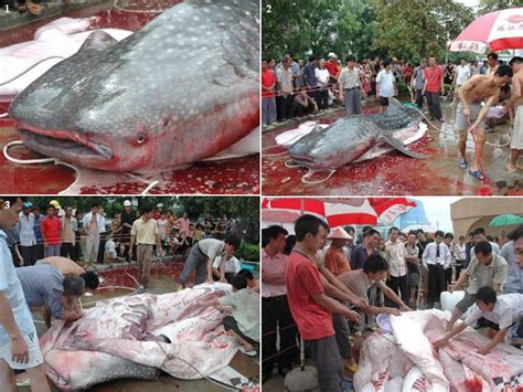 ikan lele raksasa terbesar  dunia ditemukan  gorong gorong  foto fb hd