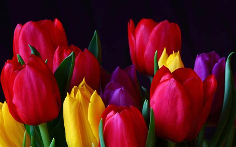 Tulip Image Desktop by Tulips Hd Wallpapers