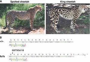 From Cheetah Spots to Kitty's Stripes: The Genetics of Cat ...