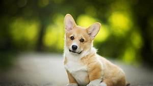 Download Wallpaper 1366x768 Welsh Corgi, cute dog HD ...
