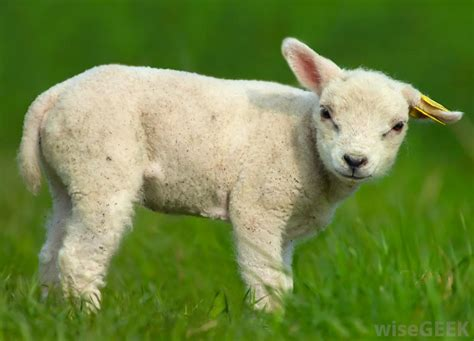 what is mutton what is mutton with pictures