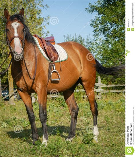 chaise selle de cheval ready for stock photo image of bronco