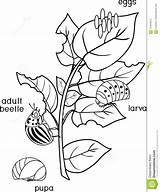 Potato Coloring Development Beetle Stages Decemlineata Colorado Leptinotarsa Different Damaged Leaf Pagina Della Verschillende Coloradokever Ontwikkeling Stadia Kleurende Nociva Fasi sketch template