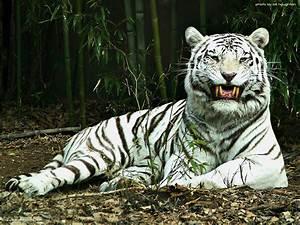 HD Animals Wallpapers: White Tiger Wallpapers for Desktop Free