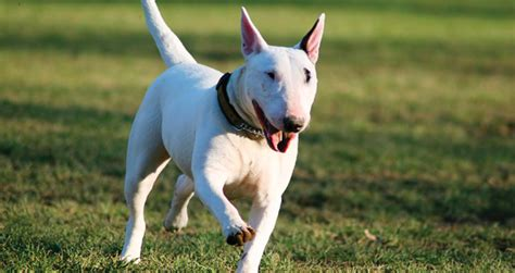 caring tips   bull terrier pets world